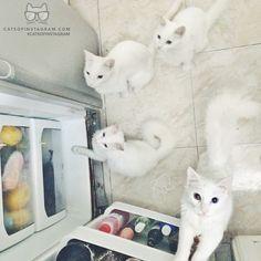 "From @ZeniaMendivil: ""¡Ooohh, milk! In this pic: my kitty family #Vitö, #Milü, #MadameLilo & #MonsieurCocco. Pic: #instazeta"" #twitterweek #catsofinstagram"