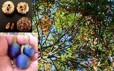 Quandong azul . Fruta silvestre de Australia . Elaeocarpus grandis