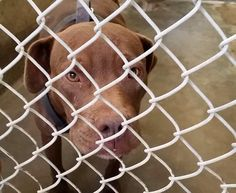 09/24/14 - ODESSA URGENT - Staffordshire Terrier 2-3 years old -Kennel A33-Available **** $51 to adopt   Located at Odessa, Texas Animal Control. Must have a valid Drivers License and utility bill with matching address to adopt. They accept Credit Cards, cash or checks. We ARE NOT the pound. We are volunteers who network these animals to try and find them homes. Please send us a PM if we can answer any questions for you.