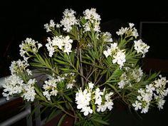 laurel en flor