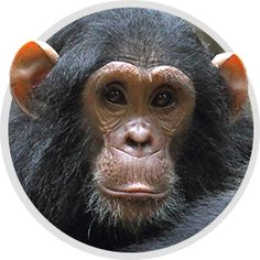 Help Abandoned Chimpanzees in Liberia: Alert Taken - The Humane Society of the United States