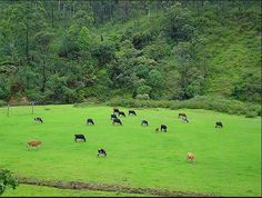 Cows grazing in the Matuppetty farms
