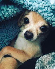 Chihuahua | PetSync