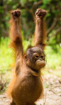 International Animal Rescue Hip hip hooray - tomorrow is International Orangutan Day! Noel's looking forward to it - and so are we! Photo courtesy of Thomas Burns Wildlife Conservation Photography Cute Funny Animals, Cute Baby Animals, Animals And Pets, Funny Monkeys, Baby Orangutan, Chimpanzee, Facebook Giveaway, Cute Monkey, Mundo Animal