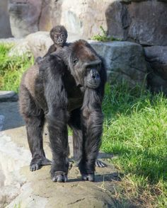 """Five months ago at the San Francisco zoo, Nneka the gorilla had a baby, Kabibe — """"little lady"""" in Swahili. The new mother is doing fine, but it's grandma Bawang, the gorilla family's 33-year-old matriarch, who seems to have filled the role of mother to the new addition.  Yesterday, Kabibe was available to be seen by the public for the first time. As could be easily predicted, she and her grandma are adorable together…"""
