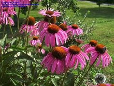 Another view of Echinacea.  Dave's Garden has more info but need to click to another page to see the info.  This is image only.