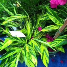 @jchapstk shares : Variegated Shell ginger. Alpinia zerumbet #mants13 @monrovia #gardenchat #mants13