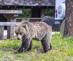 Novice National Park Visitors often make these 8 Mistakes: Not Preparing Campsites for Bears