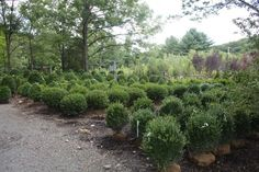 Buxus sempervirens:  Deer Resistant Boxwoods are traditionally used in a hedge to accent or break up the hedge. An old-fashioned favorite that still holds its own in the modern landscapes.