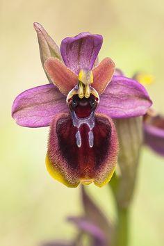 Orquidea hybrida                                                                                                                                                                                 Más