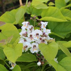 Catalpa Aurea - Flowers