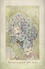hortensia art - Pesquisa Google