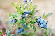blueberry companion plants