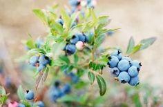 blueberry companion plants