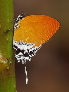 Branded Imperial butterfly (Eooxylides tharis subsp distanti)