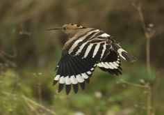 Portland Bird Observatory - latest news November 2012