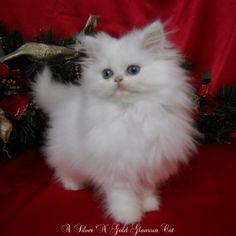 White tiny teacup Persian female, the ONLY cat I would even CONSIDER having