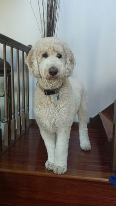 Discover The Proud Poodle Pups Exercise Needs Goldendoodle Haircuts, Goldendoodle Grooming, Dog Haircuts, Dog Grooming, Poodle Grooming, Standard Goldendoodle, Standard Poodles, French Poodles, Mini Goldendoodle