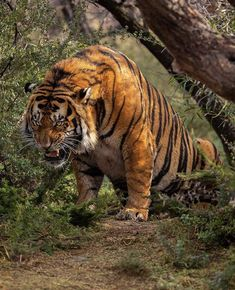 Bengalischer Tiger, Bengal Tiger, Big Tiger, Pavo Real Albino, Tiger Fotografie, Animals And Pets, Cute Animals, Badass Pictures, Great White Shark