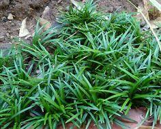 PlantWerkz: Mondo Grass - Ophiopogon Japonicus 'Kyoto Dwarf'