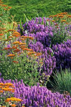 380006 - Fernleaf yarrow (Achillea filipendulina 'Feuerland') and woodland sage (Salvia nemorosa)