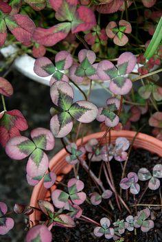 Trifolium repens 'William' - Clover