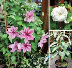 Great ways to grow some privacy on your deck/patio/urban balcony #DIY #garden