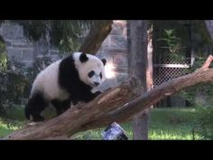 Smithsonian's National Zoo Celebrates Giant Panda Bei Bei's First Birthday