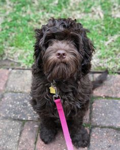 Labradoodle named Bailey