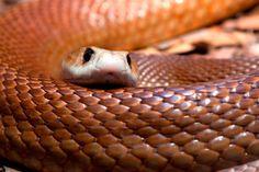 Fotos de la serpiente taipan. Digamos que el veneno de la serpiente taipán guarda una proporción de 400-800 veces más tóxico que el de la serpiente cascabel americana y unas 50 veces superior al de las cobras. Esto nos conduce a pensar que, los 50 mg de veneno contenidos en cada mordedura son más que suficientes para aniquilar a cualquiera de los animales que integran su dieta.