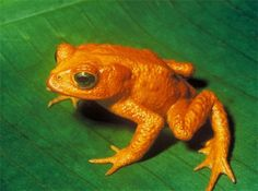 »✿❤Love Frogs!❤✿« EXTINCT - Golden Toad in 1989. In 1987, due to erratic weather, the pools in Costa Rica dried up before the larva had matured. Out of potential 30,000 toads, only 29 had survived. In 1988, only eight males and two females could be located. In 1989, a single male was found, this was the last record of the species.