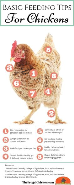 Did you know your chickens' diet effects their egg quality? In this podcast, learn the basics of feeding chickens for healthy, nutritious eggs. From FrugalChicken Bloggers: Please feel free to use this infographic on your blog as long as it remains unedited and attribution with a link is given to TheFrugalChicken.com.
