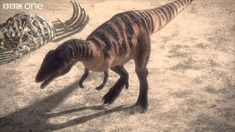 Carcharodontosaurus dominated the middle cretaceous south african landscape. it lived killing the local sauropods and edmontosaurus or duck billed dinosaurs. it ruled the bottom of the african landscape to itself. However it coexisted with one of the most dangerous predators to exist....spinosaurus