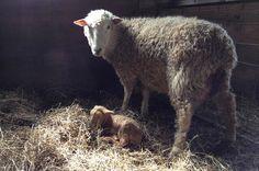 Farm Institute Welcomes Newborn Lambs | The Vineyard Gazette - Martha's Vineyard News