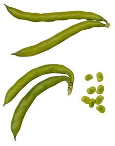The fava bean plant (Vicia faba L.) is a cool-season crop that produces to seed pods that contain four to six flat seeds. The flattened appearance of the seeds gave the beans their other . Growing Green Beans, Bean Pods, Plant Insects, Bean Plant, X Picture, Fava Beans, Dried Beans, Grow Your Own Food