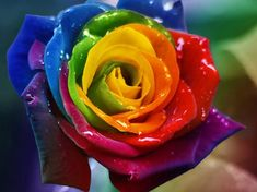 rainbow roses wallpaper - Google Search