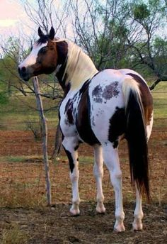 Chestnut Tobiano Paint Horse with cat-track markings Most Beautiful Animals, Beautiful Horses, Beautiful Creatures, Native American Horses, American Paint Horse, Pretty Horses, Horse Love, Cheval Pie, Appaloosa