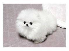!T-cup Sized Pomeranian Puppies Ready For New Homes!4
