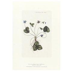 A4 kunsttryk - Flora Danica - Blå Anemone
