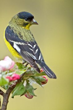 Goldfinch perched on an apple tree