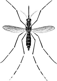 Giant Mosquitoes Surge in Numbers - News - Bubblews