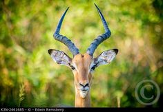Impala, Bird, Animals, Beautiful, Photos, Animales, Pictures, Animaux, Birds