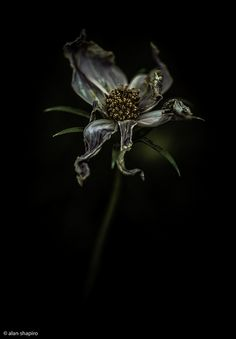Photos - Flowers - Frazzled by Alan Shapiro, via Dark Flowers, Beautiful Flowers, Beautiful Pictures, Floral Photography, Still Life Photography, Macro Photography, Wilted Flowers, Billy Kidd, Vampire Books