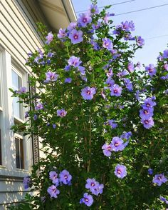 Rose of Sharon bush for added privacy from neighbors Magenta Flowers, Hibiscus Flowers, Purple Roses, Colorful Flowers, All Plants, Garden Plants, Green Garden, Growing Plants, House Plants