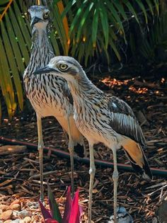 Bush stone curlew Australian Birds, Nests, Wild Birds, Beautiful Birds, Owl, Babies, Illustrations, Stone, Babys