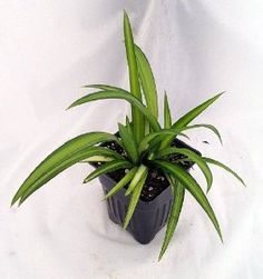 Hawaiian Spider Plant - Easy to Grow...  Order at http://www.amazon.com/Hawaiian-Spider-Plant-Cleans-New/dp/B006VGUXUO/ref=zg_bs_3745171_79?tag=bestmacros-20