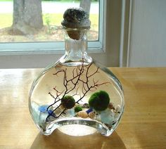 Unique Marimo Balls Zen Pet Terrarium Sumo by MyZen on Etsy......interesting--look up marimo balls on Wikipedia