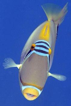 Picasso Triggerfish Underwater Creatures, Underwater Life, Ocean Creatures, Beautiful Sea Creatures, Animals Beautiful, Colorful Fish, Tropical Fish, Poisson Mandarin, Life Under The Sea