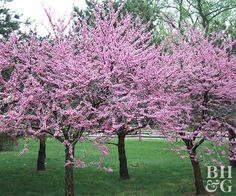 Looking for a bright, attention-grabbing tree to fit in a small space or lot? Eastern redbud a great yard addition. Redbud sets its pretty pink flowers early in spring, has beautiful gold and orange foliage in the fall, and always adds graceful structure.