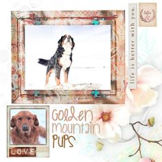 Prairie Willow Golden Mountain Dogs: Litters Adopt a Golden Mountain dog puppy from www.prairiewillowdogs,com Digital scrapbooking from Simple Pleasure Designs Bernedoodle Puppy, Mini Goldendoodle, Bernese Mountain Puppy, Mountain Dogs, Puppies For Sale, Dogs And Puppies, Simple Pleasures, Digital Scrapbooking, Adoption